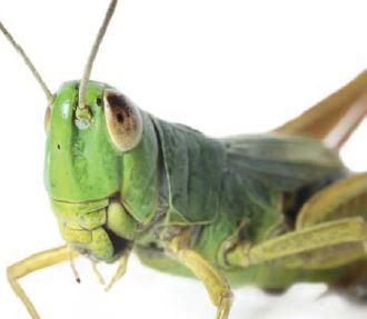 Insekten auf österreichischen Tellern